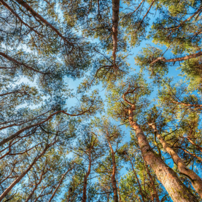 canopy-of-pines-trees-upper-branches-of-woods