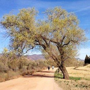 Colorado Grown Siberian Elm